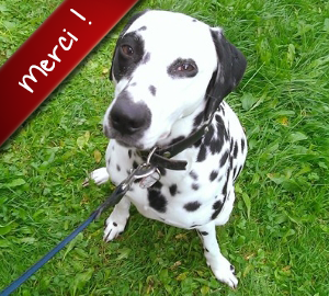 Crystal, Dalmatienne de 1 an, a été prise en charge par l'association